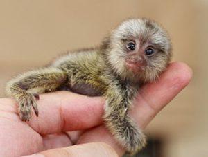 Brain lesions in baby monkeys